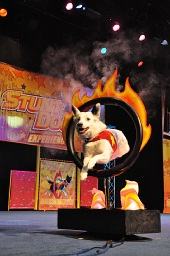 Dogs jump through (faux) burning hoops for audiences' entertainment.