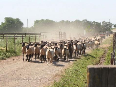 University Farm held the 47th annual FFA Field Day on Saturday. Photo courtesy Chico State