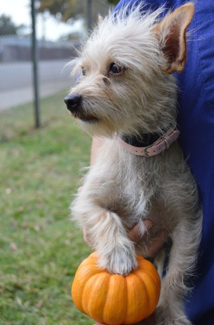 A small dog, with an even smaller pumpkin. Photo Courtesy of Tracy Mohr