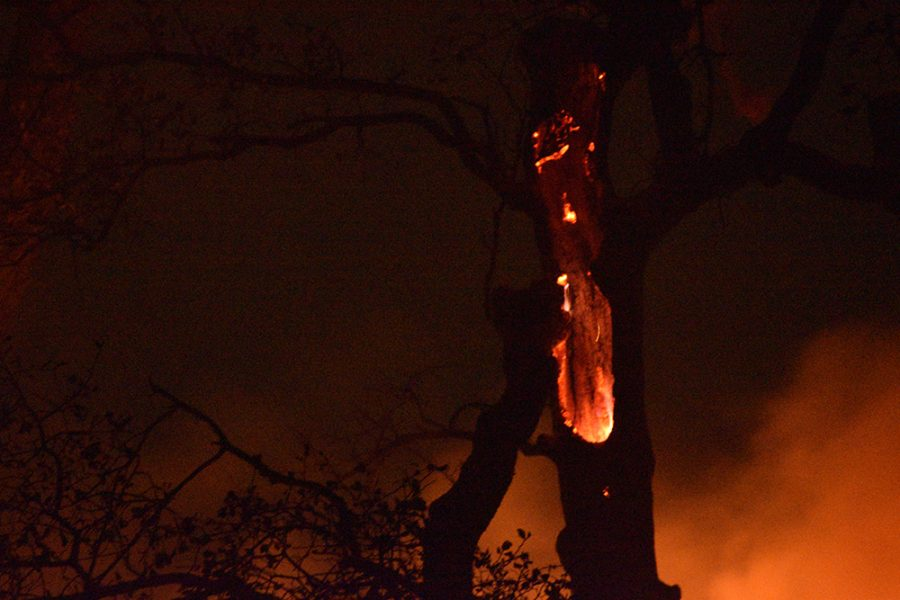 Flames burn a hole into an oak tree near Honey Run Road off of Skyway around 2:30 a.m. on Nov. 9, the morning after the Camp Fire started.