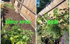 Photos taken by Shae Pastrana and edited in Adobe Spark. What a bare garden bed can look like a month and a half later. Sunflowers are almost blooming!