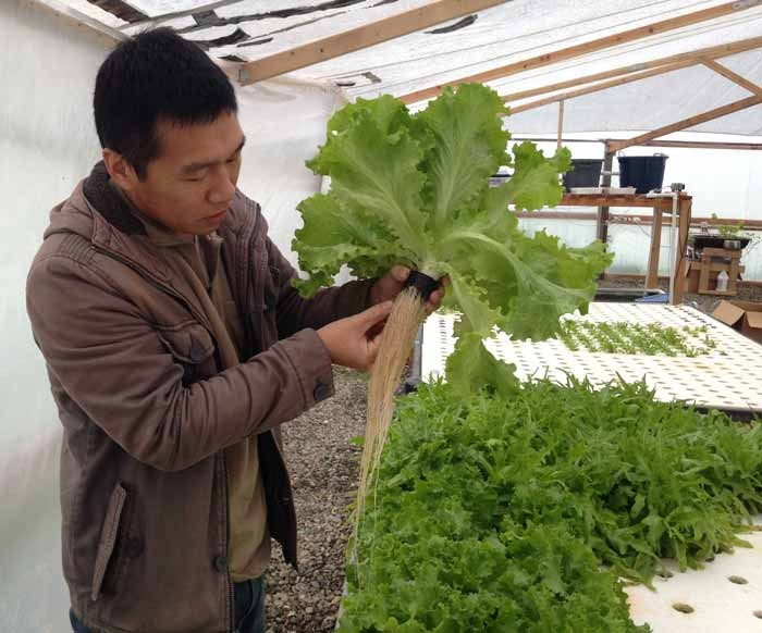 Zi Kuang, a business administration alumni, pulls a head of lettuce from an aquaponic grow bed. Photo credit: Christine Lee