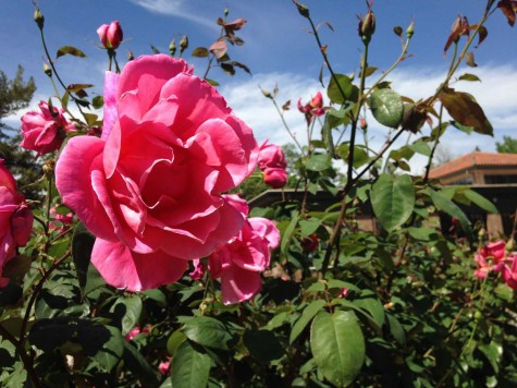 The George Peterson Rose Garden, a campus landmark, is more than 50 years old. Photo credit: Dominique Diaz