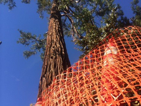 Rotting cedar tree to be removed Sunday