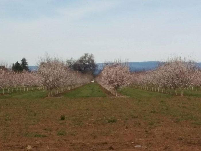 Almond blooms at University Farm. Photo courtesy Samuel Monteon
