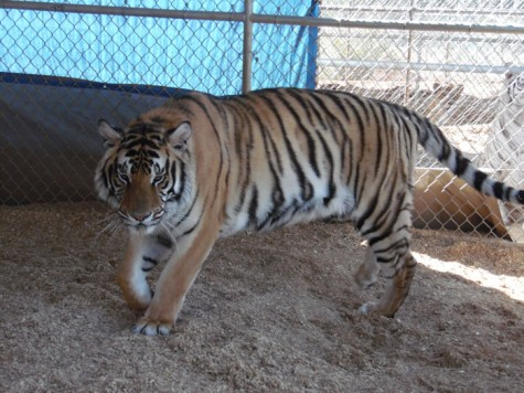 Kirshner Wildlife Foundation rescues exotic animals in need of care