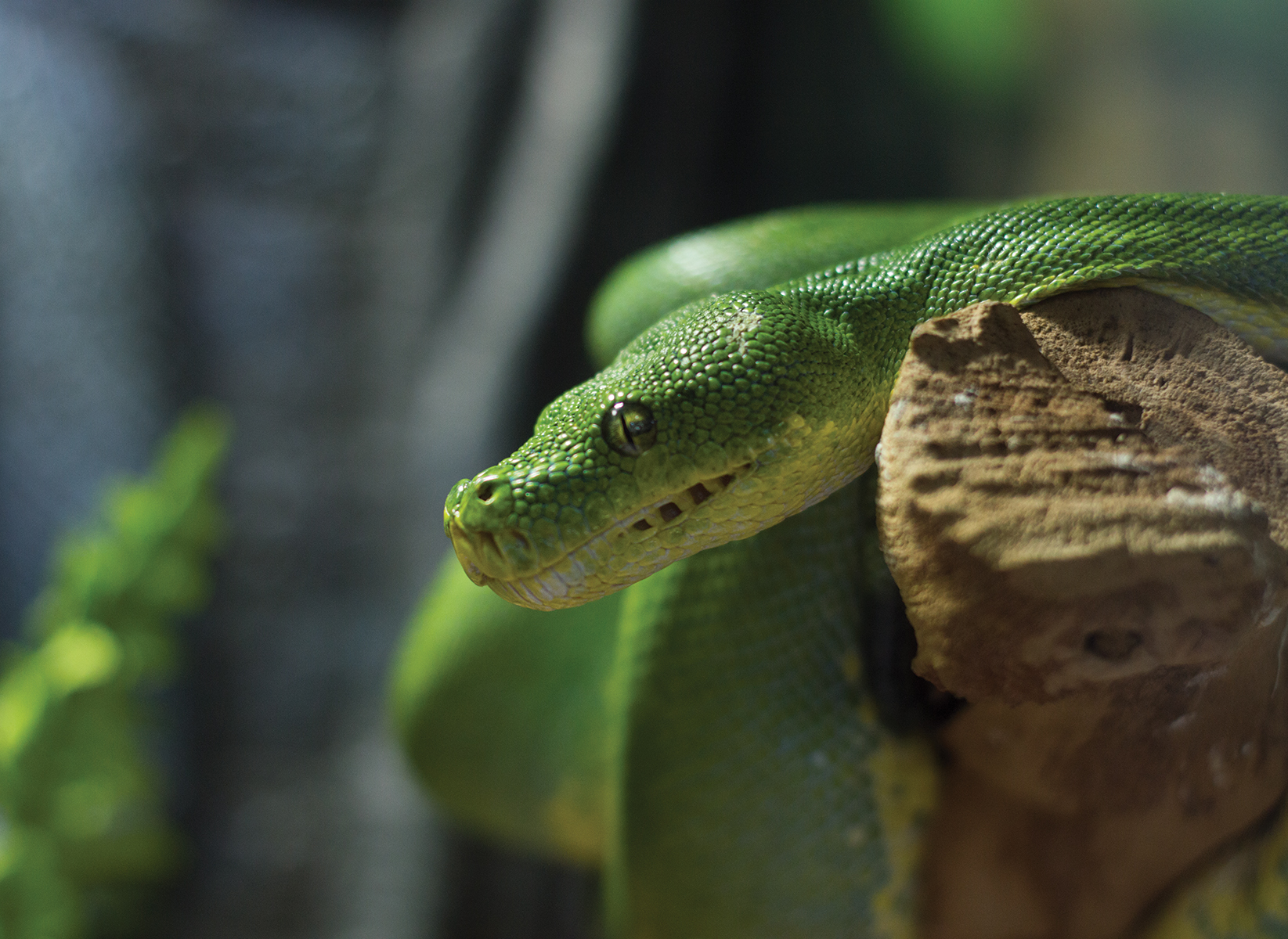 Intense glare of the Green Tree Python. Photo credit: Sean Martens