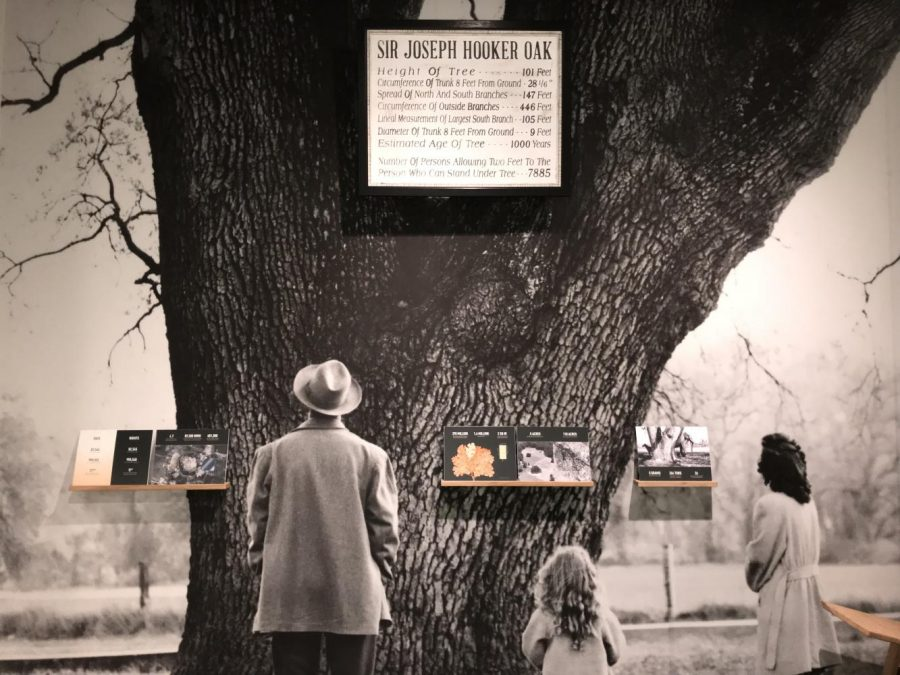 Representation of the Hooker Oak Tree of Chico is expressed in form of art history. Photo credit: Luke Dennison