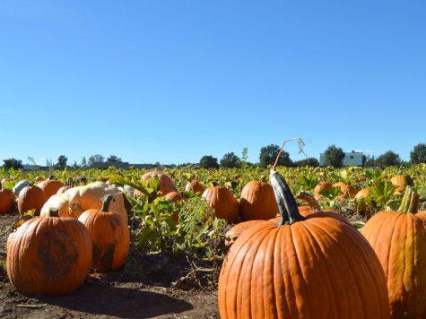 pumpkinsOPT.jpg