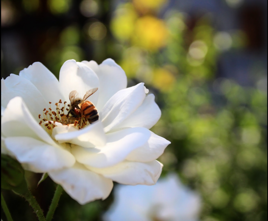 Close up of a bee on a white flower on the Chico State campus.