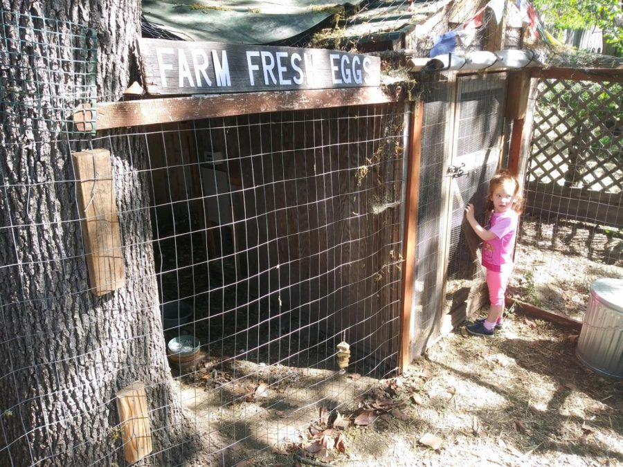 Jason Jaques' daughter looking for some farm fresh eggs at the Vecino Victory Garden.