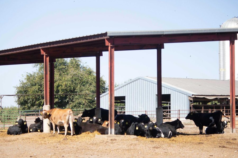 A bunch of cows from the beef unit lounging in the shade on a warm fall day, taken on Oct. 15, 2021.